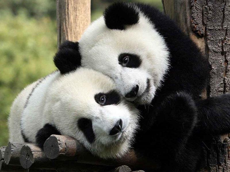 Pandas en el zoológico de Chapultepec en Ciudad de México
